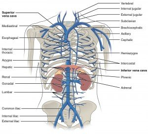 Veins in abdominal cavity